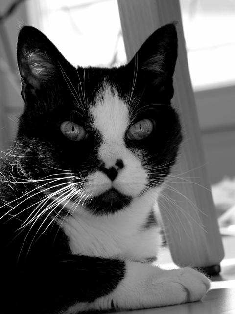 Kater Mikey in schwarz/weiß